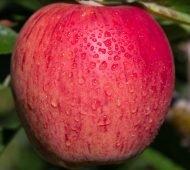 Baywa, Apfel, Ernte, Obst