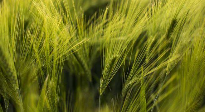 KWS Saat, Aktie, Getreide, Saatgut,