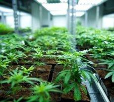 Tilray, Cannabis, Aktie, Anzucht